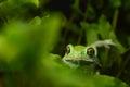 Waxy monkey frog phyllomedusa sauvagii Stock Photo