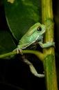 Waxy monkey frog phyllomedusa sauvagii Stock Photography
