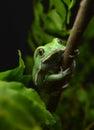 Waxy monkey frog phyllomedusa sauvagii Stock Images