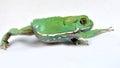 Waxy monkey frog phyllomedusa sauvagii phyllomedusasauvagii makro Royalty Free Stock Photos