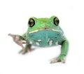 Waxy monkey frog phyllomedusa sauvagii phyllomedusasauvagii makro Stock Photography