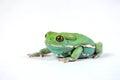 Waxy monkey frog phyllomedusa sauvagii phylomedusa makro Stock Photography