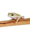 Waxy monkey leaf frog on white background phyllomedusa sauvagii Stock Photo