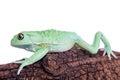 Waxy monkey leaf frog on white background phyllomedusa sauvagii isolated Stock Photography