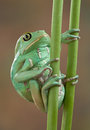 Waxy tree frog on stems Royalty Free Stock Photography