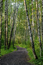 Way in the birch forest Royalty Free Stock Photos