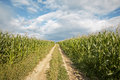 Way on the field of maize Stock Image