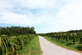 On the way of fruit orchards in blue sky Royalty Free Stock Image
