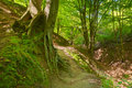 Way by green forest. Beech roots. Trees in nature Royalty Free Stock Photo