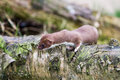 Weasel Royalty Free Stock Photography