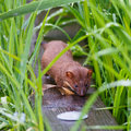 Weasel in the grass long tailed walking down a board surrounded by wet green Stock Photo