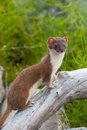 Stock Photography Weasel