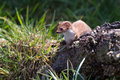 Weasel mustela nivalis hunting for food Stock Photos