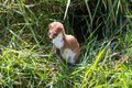 Weasel mustela nivalis hunting for food Stock Images