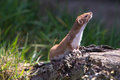 Weasel mustela nivalis hunting for food Royalty Free Stock Images