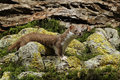 Weasel mustela nivalis a single mammal captive midlands september Stock Photos