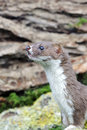 Weasel mustela nivalis a single mammal captive midlands september Stock Images