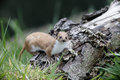 Weasel mustela nivalis single mammal in grass captive may Royalty Free Stock Images