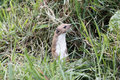 Weasel mustela nivalis single mammal in grass captive may Stock Image