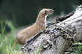 Weasel mustela nivalis single mammal in grass captive may Royalty Free Stock Photography