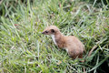 Weasel mustela nivalis single mammal in grass captive may Royalty Free Stock Photos