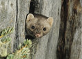 Weasel peeking from hollow tree Royalty Free Stock Photography