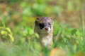 Weasel the popped his head up over the grass and observe neighboring states Royalty Free Stock Photos