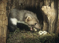 Weasel stealing eggs from nest Stock Image