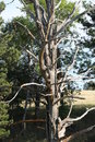Weathered tree old petrified barkless Royalty Free Stock Images