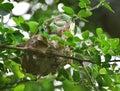 Weaver Ant Nesting
