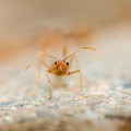Weaver ants close up of head ant Royalty Free Stock Photos