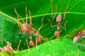 Weaver Ants Or Green Ants (Oec...