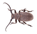 Weaver beetle Royalty Free Stock Photos