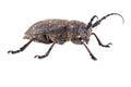 Weaver beetle beetle species of longhorn beetles beetles isolated on white background Royalty Free Stock Photo