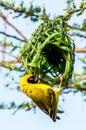 Weaver Bird  Kruger Park South...