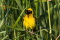 Weaver Bird Puffs Feathers Stock Images