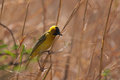 Weaver gathering material southern masked for the nest Royalty Free Stock Photos