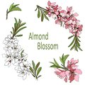 Vector branch with almond flowers clipart white and pink colors