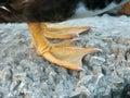 Webbed feet Royalty Free Stock Photo