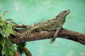 Weber's sailfin lizard (Hydrosaurus weberi). Royalty Free Stock Photo