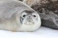 Weddell Seal Pup In Antarctica