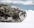 Weddell seal sleeping on ice floe Stock Photos