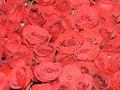 Wedding bride roses bouquet Royalty Free Stock Photos