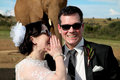 Wedding couple and african elephant shoot photo of a sharing a secret in front of an on their day Royalty Free Stock Photos