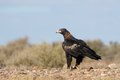 Wedge tail eagle in outback australia standing on the roadside Stock Photo