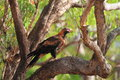 Wedge tailed eagle aquila audax in australia Royalty Free Stock Photo