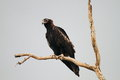 Wedge tailed eagle aquila audax in australia Stock Photo