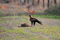 Wedge tailed eagle aquila audax in australia Royalty Free Stock Image