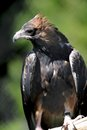Wedge tailed eagle a close up shot of a australian Royalty Free Stock Photos