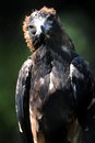 Wedge tailed eagle a close up shot of a australian Stock Image